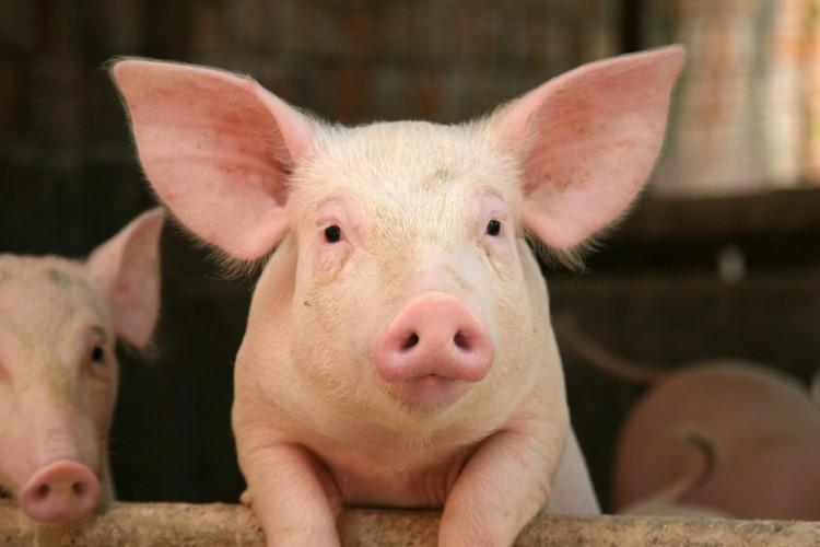 La prevenzione del taglio della coda nell'allevamento suino: valutazione del rischio e miglioramento delle condizioni di allevamento